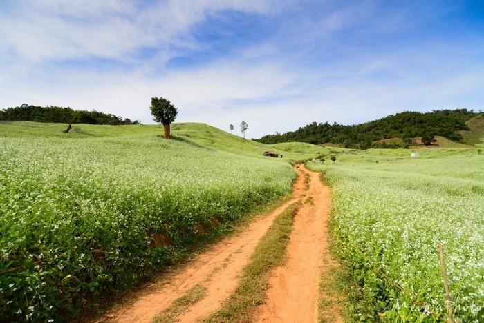 Con đường dẫn lối thiên đường màu trắng Mộc Châu