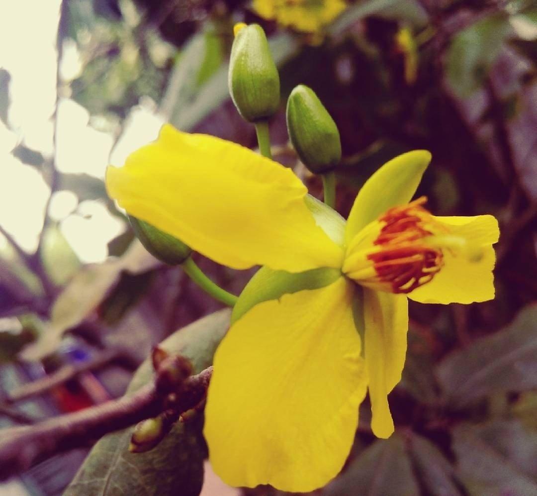 Hoa mai - loài hoa của mùa xuân và ngày Tết cổ truyền ở phương Nam