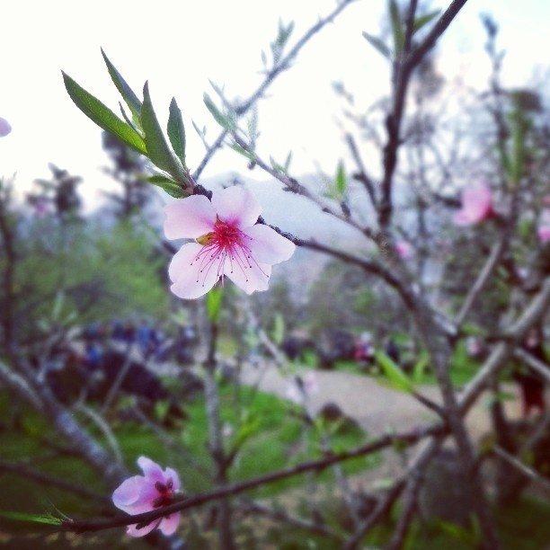 Ngẩn ngơ trước vẻ đẹp dịu dàng của hoa đào