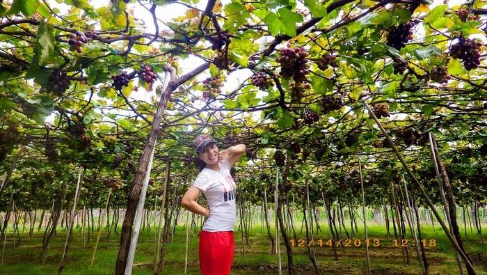 Màu sắc đầy mời gọi của vườn nho Phan Rang