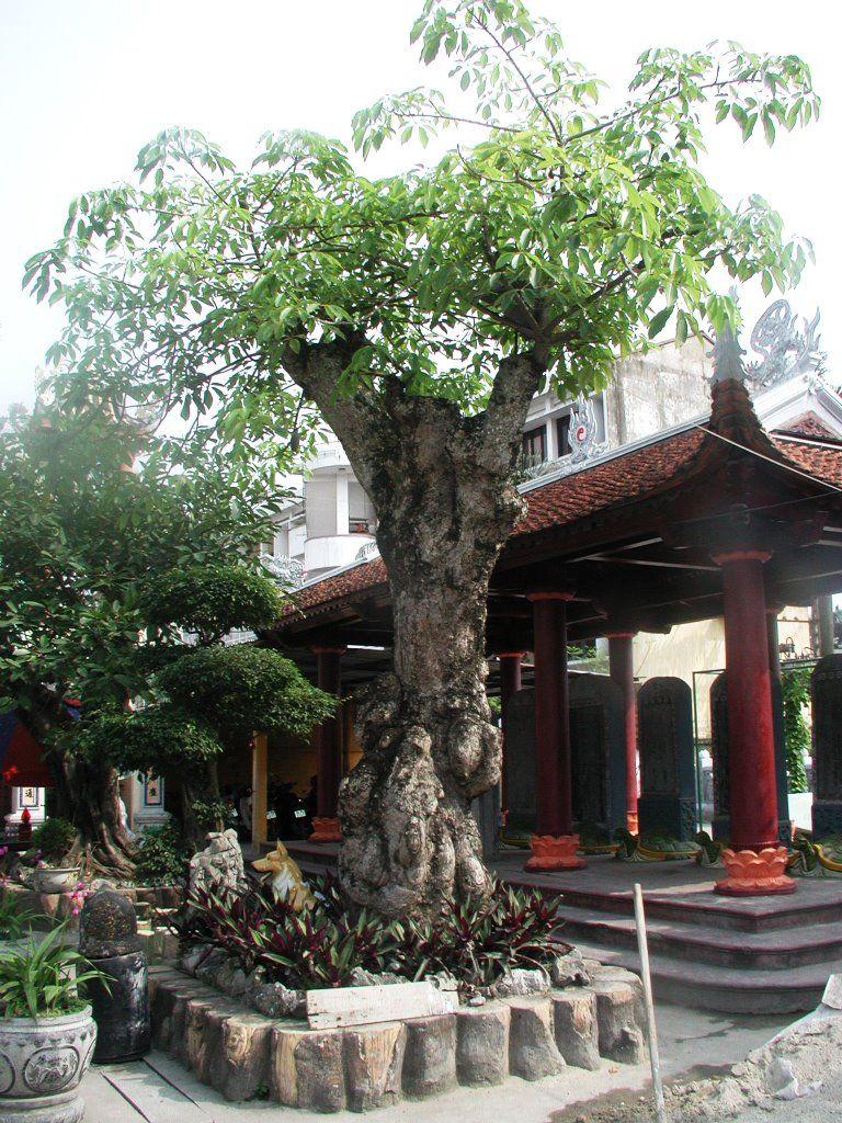 Cây sồi 200 năm tuổi tại Chùa Vẽ Hải Phòng