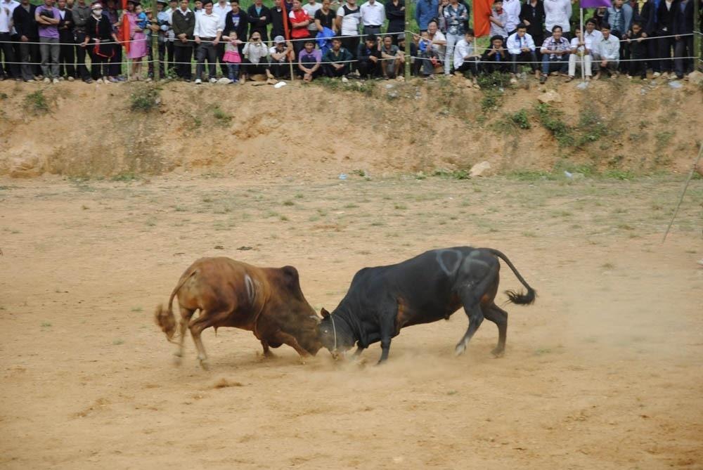Hội chọi bò