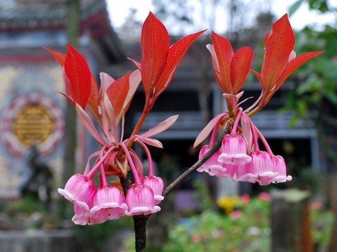 Hoa đào chuông Bà Nà trong khuôn viên chùa