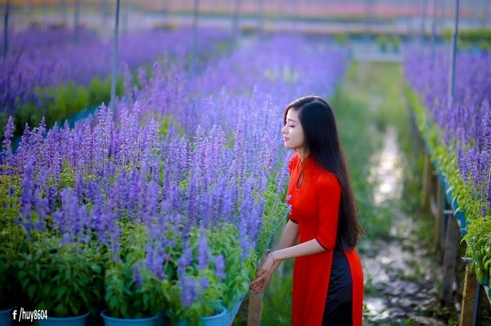 Say đắm vẻ đẹp rực rỡ của hoa salvia Biên Hòa