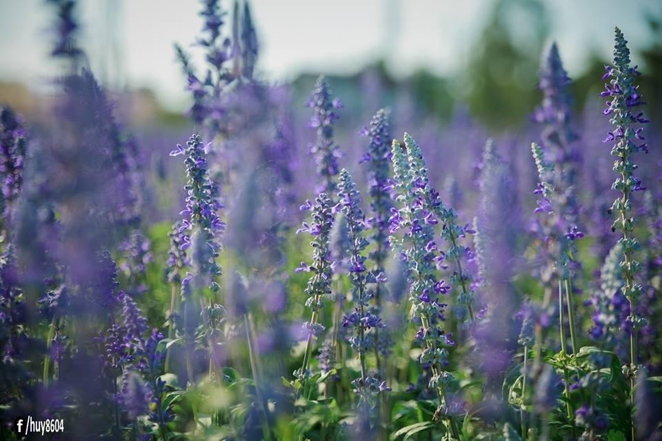 Loài hoa mang đến vẻ đẹp mới lung linh cho mảnh đất Biên Hòa - Đồng Nai