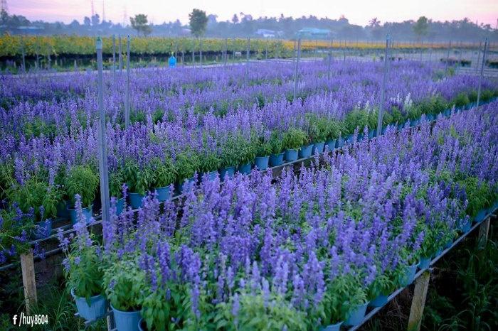 Xác pháo Biên Hòa - loài hoa mộc mạc, giản dị được trồng ở bất cứ nơi nào
