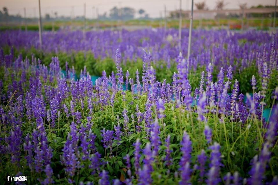 Mùa hoa xác pháo đẹp nao lòng ở đất Biên Hòa