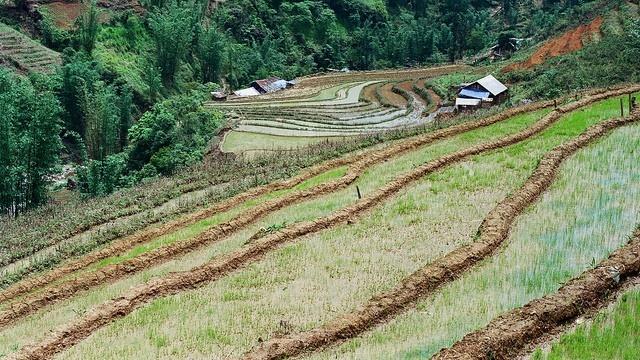 Lúa non mới cấy trên những cung ruộng bậc thang Sapa