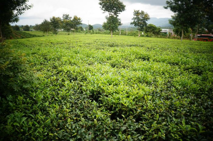 Di Linh cũng có những đồi chè xanh - Ảnh: huude