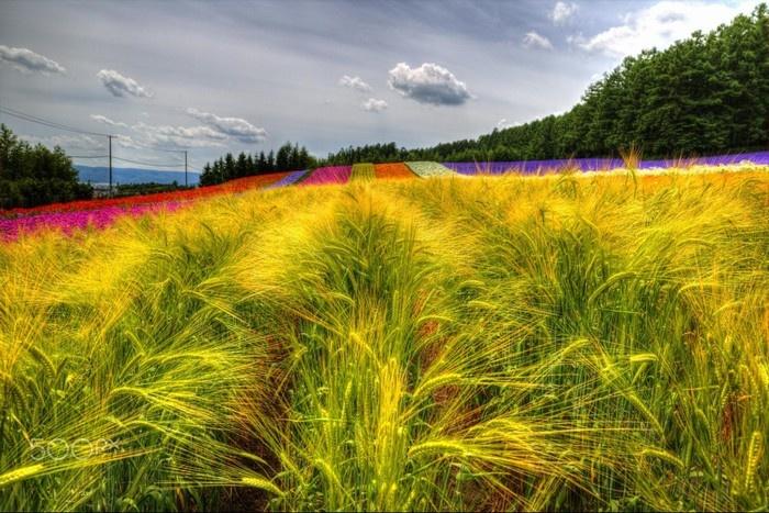 Hokkaido với những dải lụa bằng hoa
