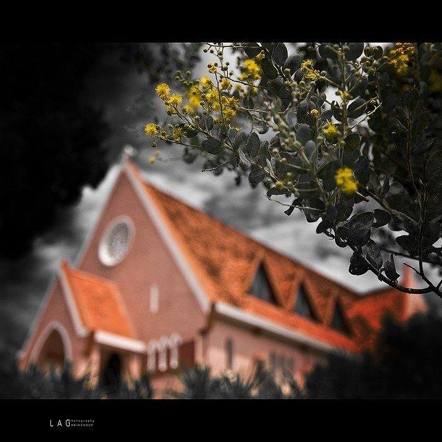 Mimosa bên góc nhà thờ Domaine de Marie