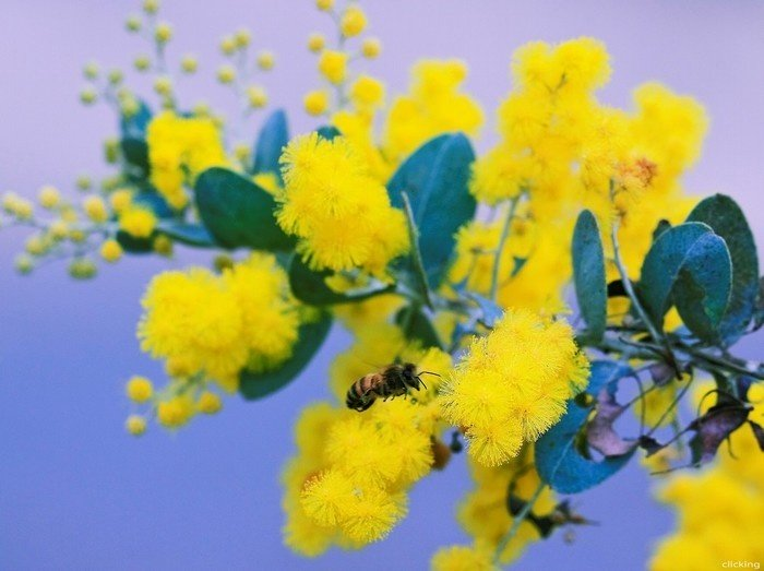 Mimosa Đà Lạt mê hoặc ong bướm