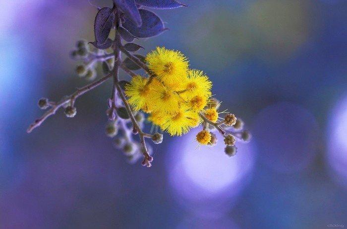 Mimosa Đà Lạt - loài hoa của tình yêu thầm kín
