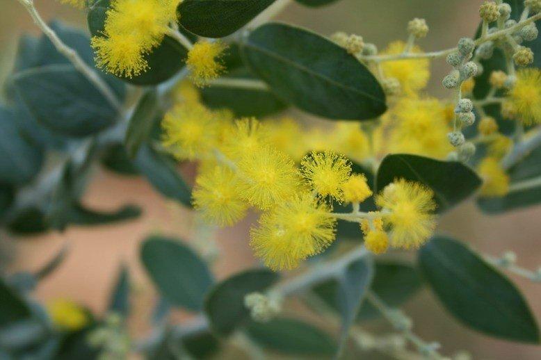 Bắt gặp những chùm hoa mimosa ở Thung Lũng Tình Yêu
