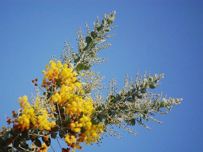 Góc trời Đà Lạt đầy ắp sắc hoa mimosa
