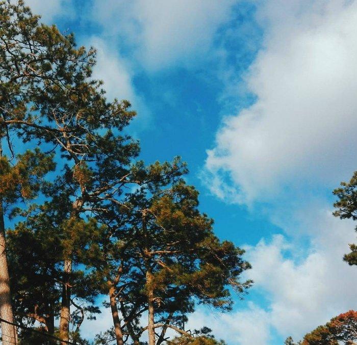 Thông Đà Lạt trên nền trời xanh biếc
