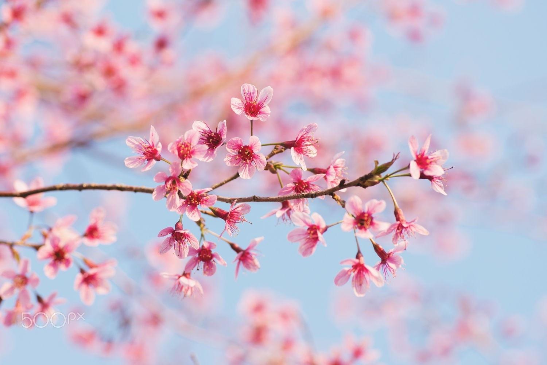 Mùa xuân Đà Lạt tươi đẹp qua bao năm tháng