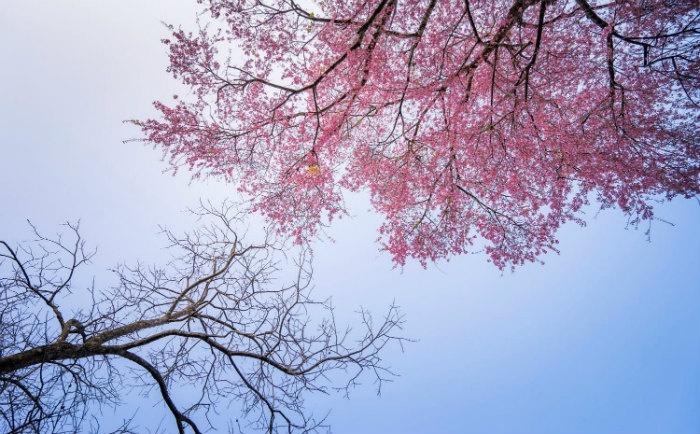 Mai anh đào Đà Lạt bung nở rực rỡ như đám mây hồng ngọt ngào