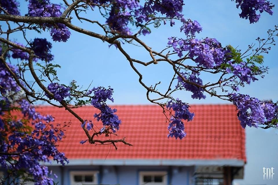 Say đắm vẻ đẹp dịu dàng của mùa hoa phượng tím Đà Lạt