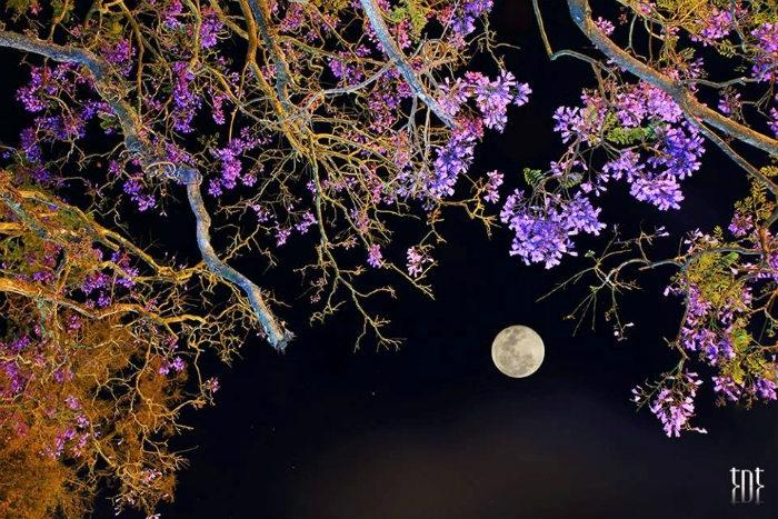 Phượng tím Đà Lạt đẹp miên man dưới ánh trăng tròn