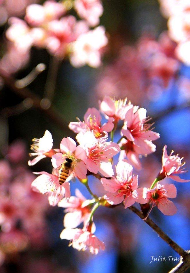 Cận cảnh vẻ đẹp quyến rũ của loài hoa mai anh đào Đà Lạt