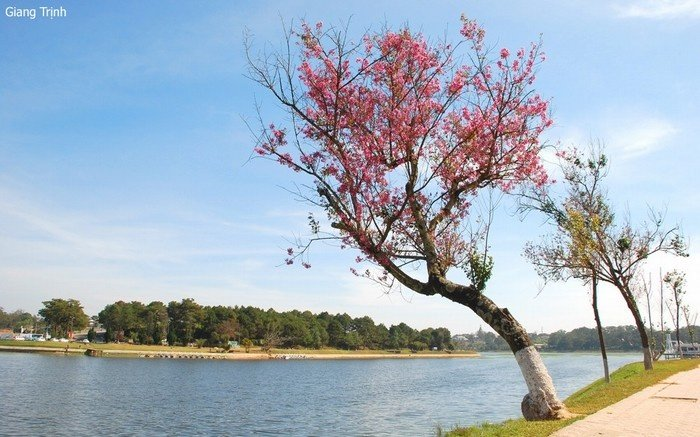 Mai anh đào Đà Lạt đẹp lãng mạn bên hồ nước êm ả