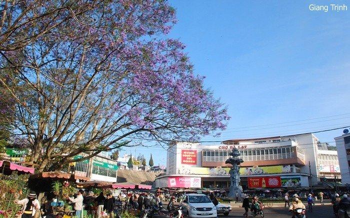 Hoa phượng tím rực rỡ khoe sắc gần chợ Đà Lạt