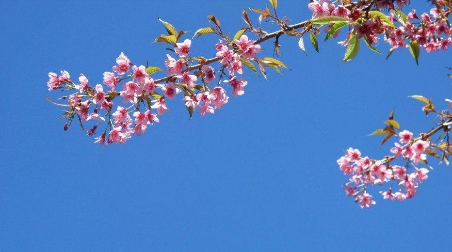 Hoa tớ dày là đặc sản của mùa xuân vùng cao Tây Bắc, thoạt nhìn như hoa đào rừng