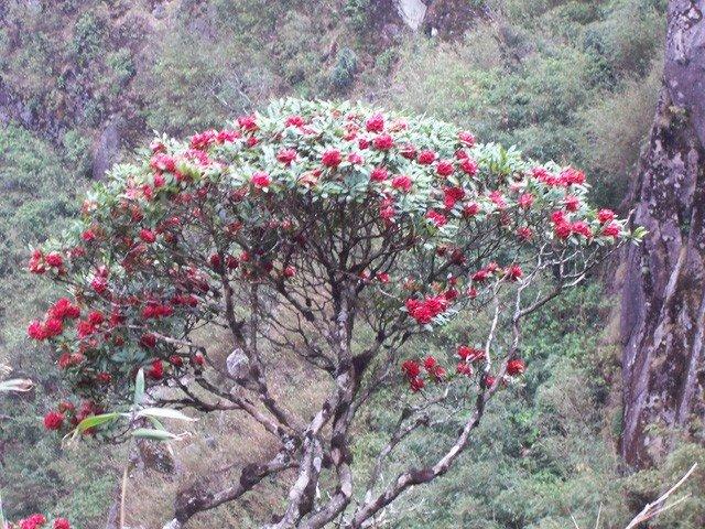 Hoa đỗ quyên chính là hiện thân của mùa xuân trên đỉnh Phanxipang
