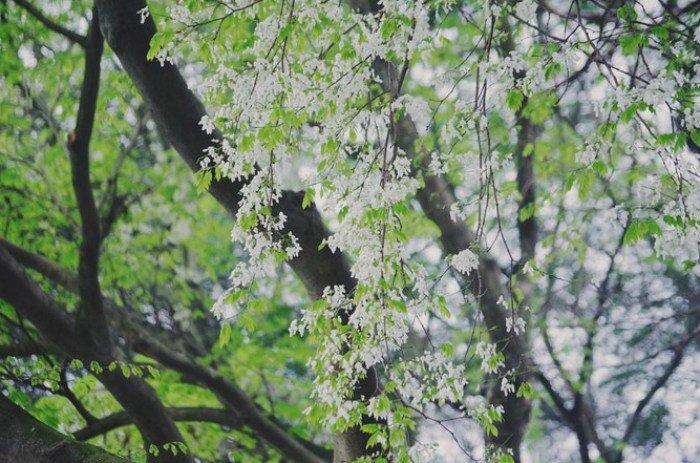 Nét đẹp của mùa xuân Hà Nội có lẽ là loại hoa sưa
