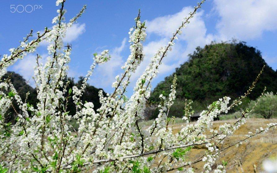 Mộc Châu đón xuân bằng những sắc hoa mận tinh khiết