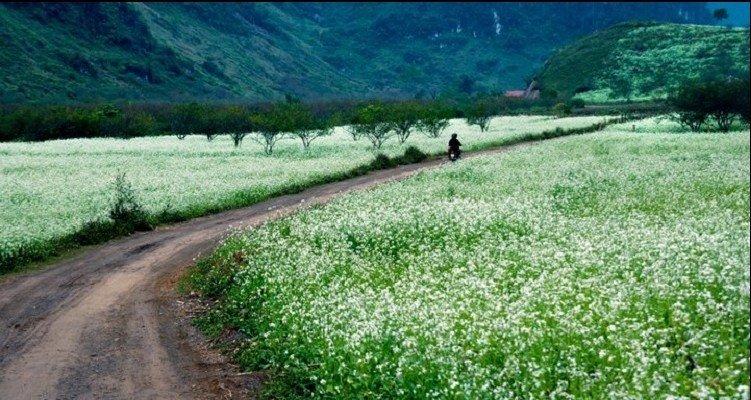 Miên man khắp những cung đường ngập tràn hoa cải trắng