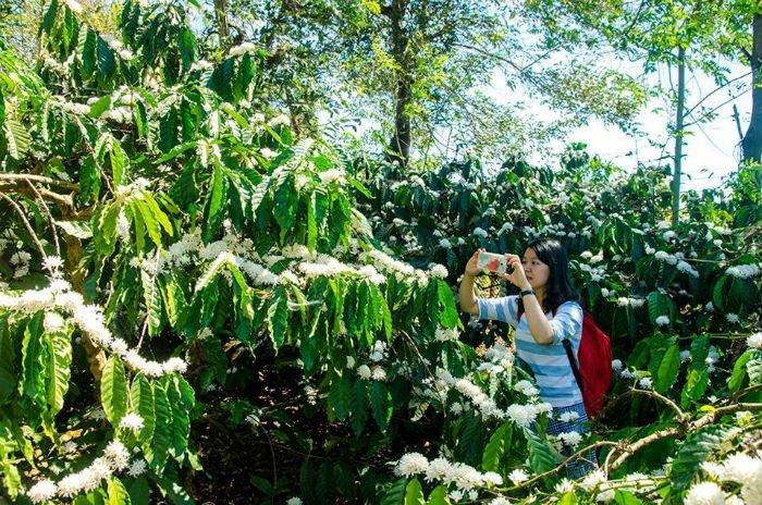 Khám phá sắc hoa cà phê như chính bạn đi tìm nét đặc trưng của vùng đất đỏ bazan Gia Lai