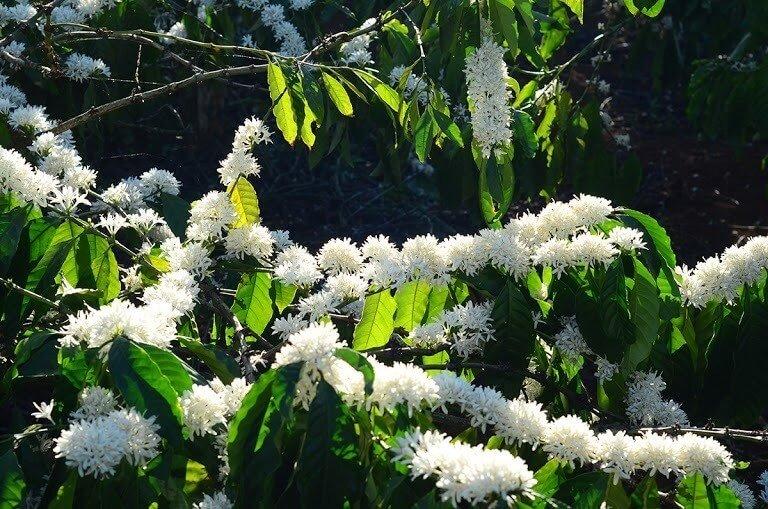 Hoa cà phê Gia Lai nở theo chùm, kết thành những dải hoa dài trên cành khẳng khiu