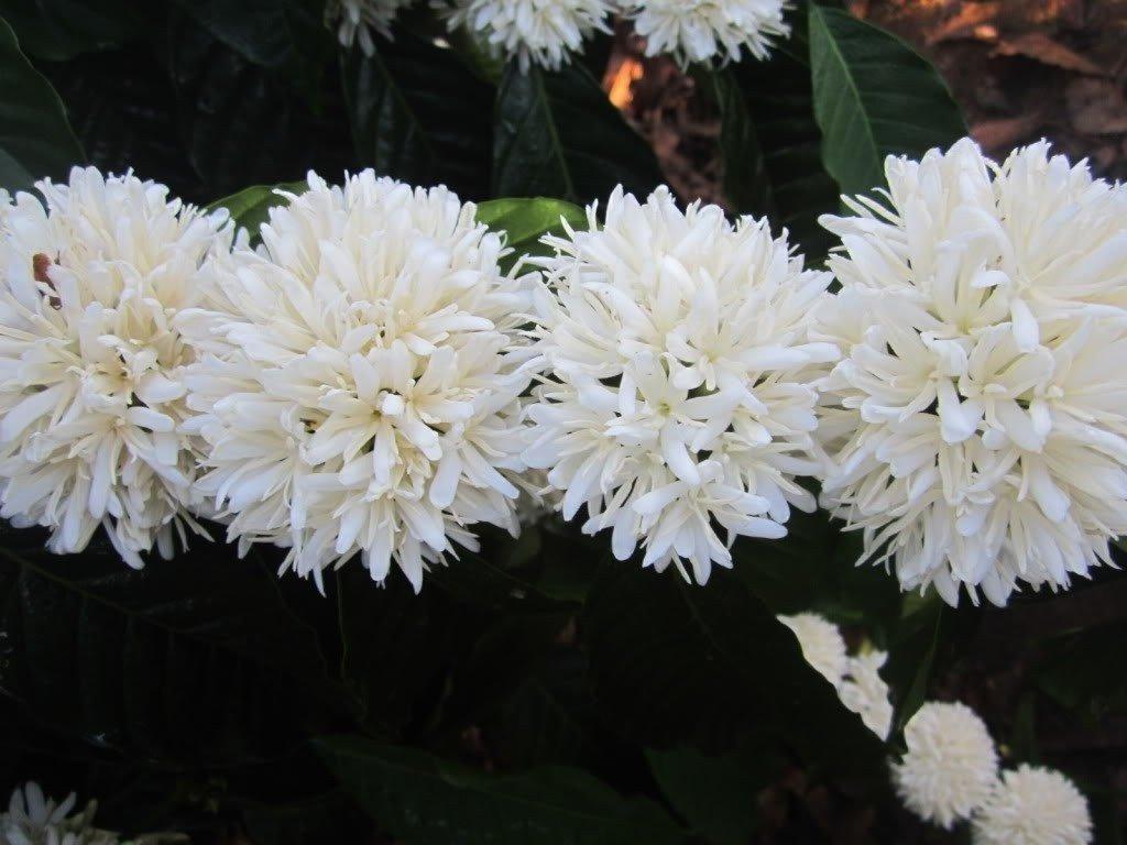 Cận cảnh chùm hoa cà phê Gia Lai xinh lung linh
