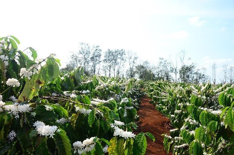 Mùa cà phê nở rộ trên những rương rẫy ở đất Gia Lai