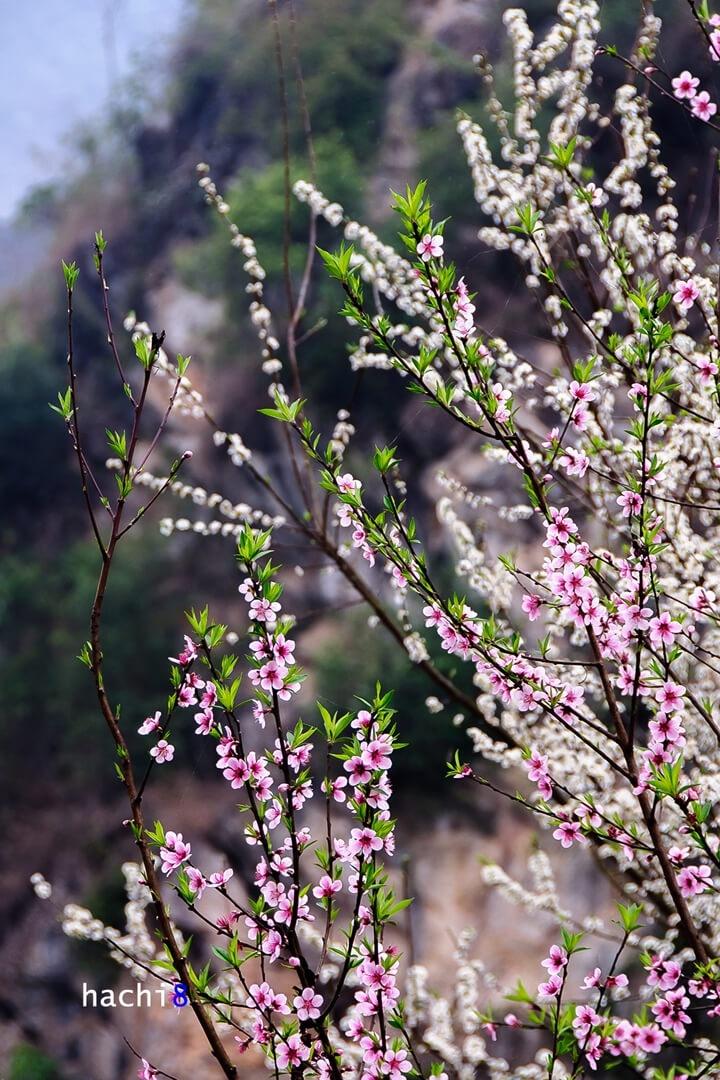 Xuân về trên cao nguyên đá Hà Giang đã mang tới những gam màu rực rỡ thật đẹp.
