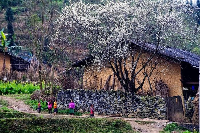 Những tán mận trổ hoa bên hàng rào đá Hà Giang