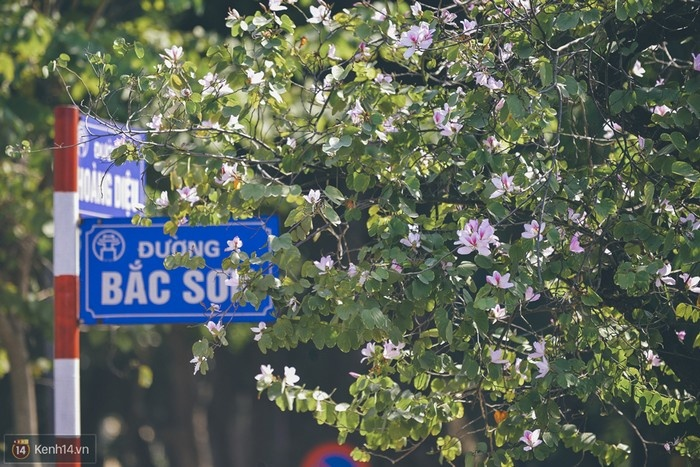 Hoa ban tím nở trên phố Bắc Sơn - Hà Nội.