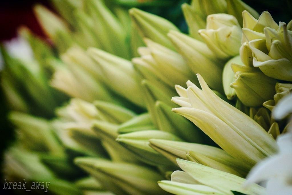 Nụ hoa Hà Nội e ấp