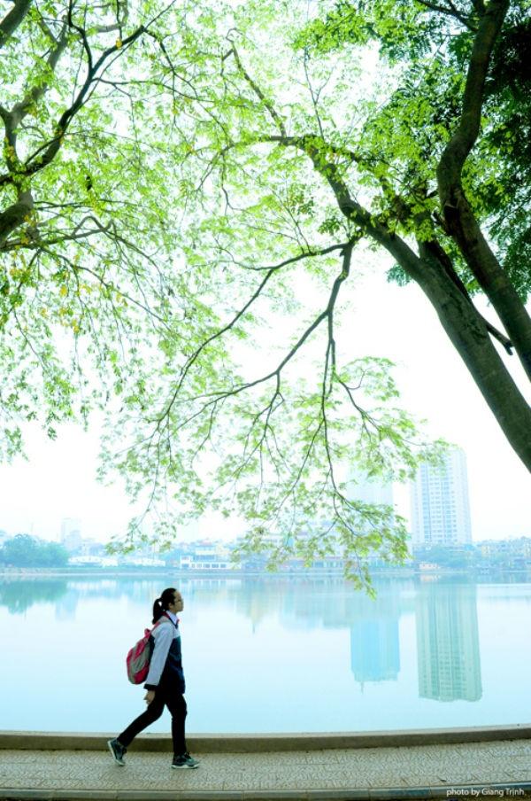 Hoa sưa những ngày này đã nở trắng trên nhiều con phố Hà Nội, cùng với thời điểm thời tiết miền Bắc mưa phùn và sương mù