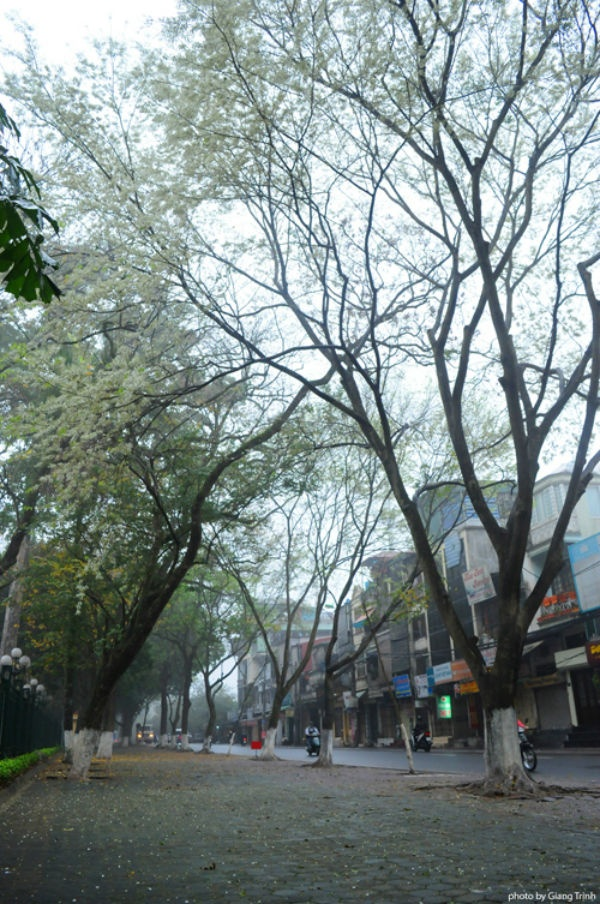 Những con đường nổi tiếng ngắm hoa sưa ở Hà Nội gồm Điện Biên Phủ, Hoàng Hoa Thám, Phan Đình Phùng, Thanh Niên, khu vực hồ Giảng Võ.