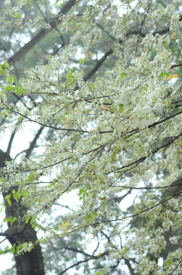 Hoa sưa Hà Nội mọc trên cao, trắng muốt từng chùm như những bông tuyết, đẹp dịu dàng mà nếu không để ý bạn sẽ rất dễ bỏ qua