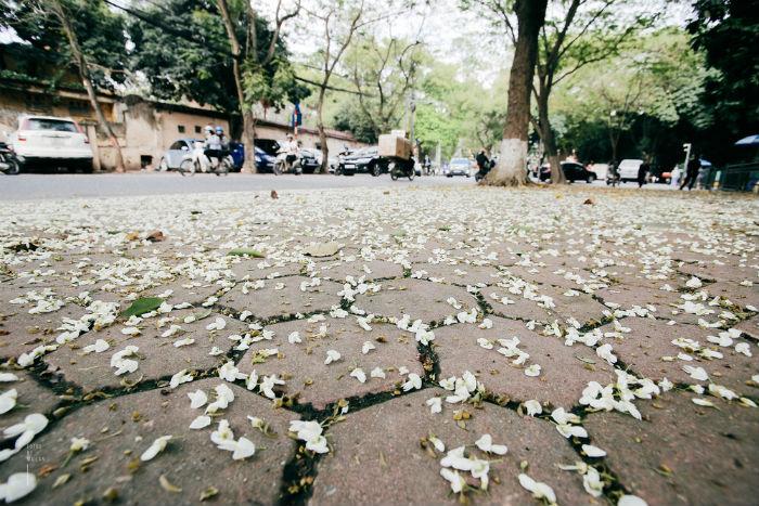 Cứ mỗi một đợt gió thổi qua, hoa sưa lại rụng trắng cả góc phố