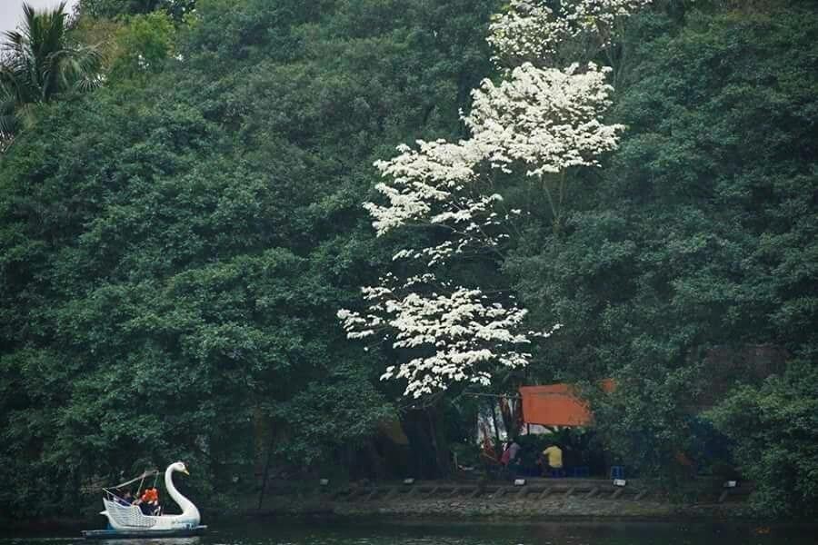 Hoa sưa nổi bật trong đám lá xanh ở công viên Thống Nhất