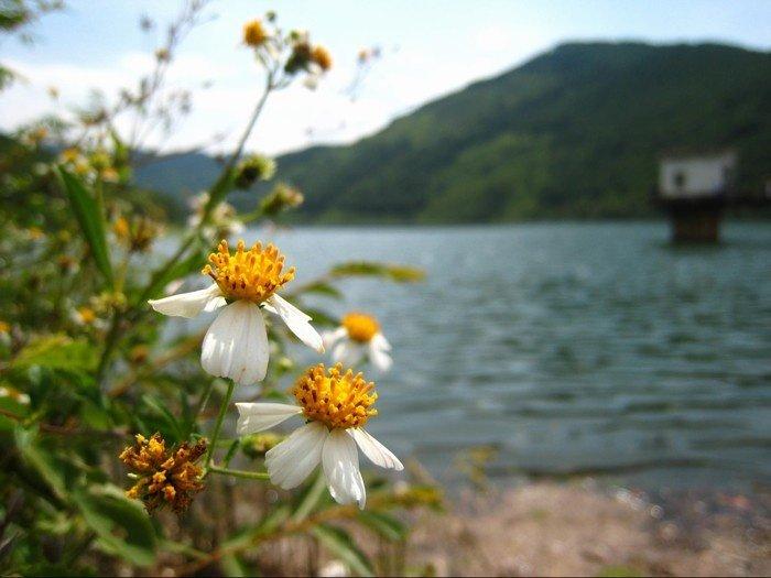 Loài hoa dại Xạ Hương khoe sắc