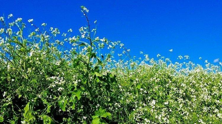 Hoa cải Lâm Đồng lấm tấm điểm xuyết sắc trắng giữa nền trời xanh