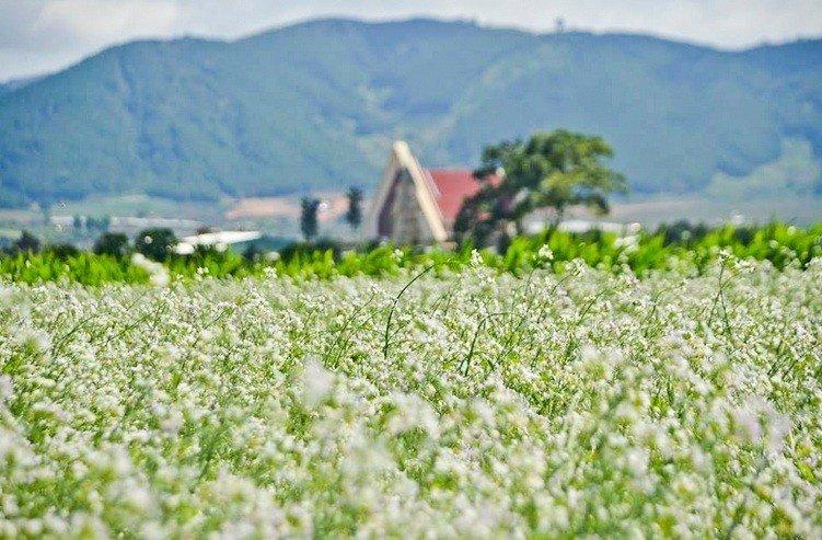 Cánh đồng cải trắng tinh khôi ở xã Tu Tra