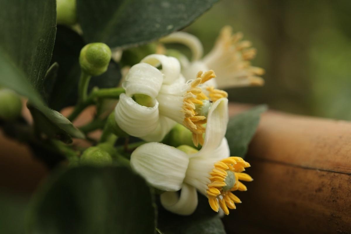 Đây là đất trồng bưởi nổi tiếng Hà Nội, cho ra đời những trái bưởi vàng thơm, mọng nước, vị ngọt thanh.