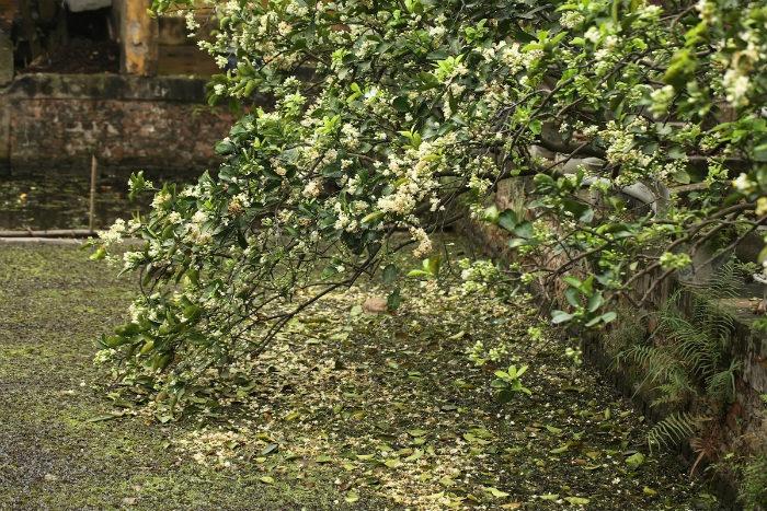 Hoa bưởi thơm nhưng nhanh tàn và rụng, thường khoảng thời gian này kéo dài 3 - 4 tuần.